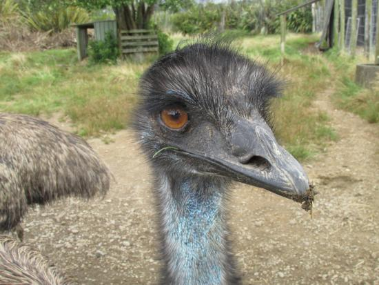 New Plymouth, Nueva Zelanda: An eye-to-eye encounter with one of the emus :).