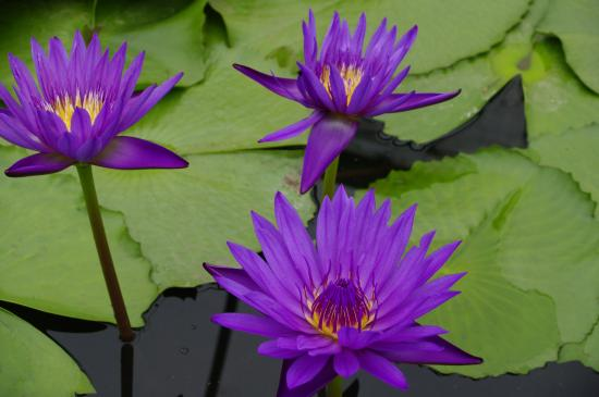 some lotus flowers.  picture of blue lotus water garden, yarra, Beautiful flower