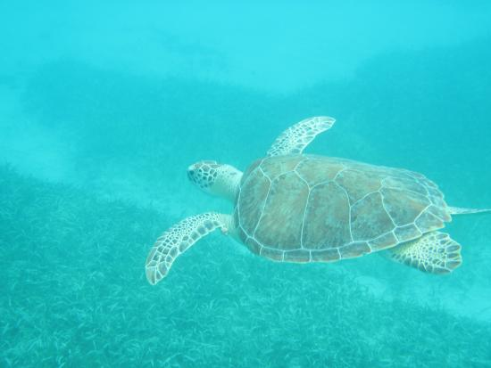 Oyster Pond, Saint-Martin / Sint Maarten: Swimming with the turtles