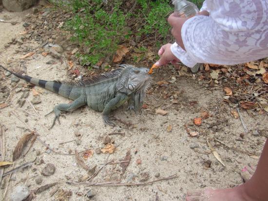 Oyster Pond, St-Martin/St Maarten: Feeding the iguanas on Pinel!