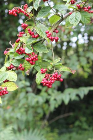 Slieve Patrick Statue: Some of the berries along the path.