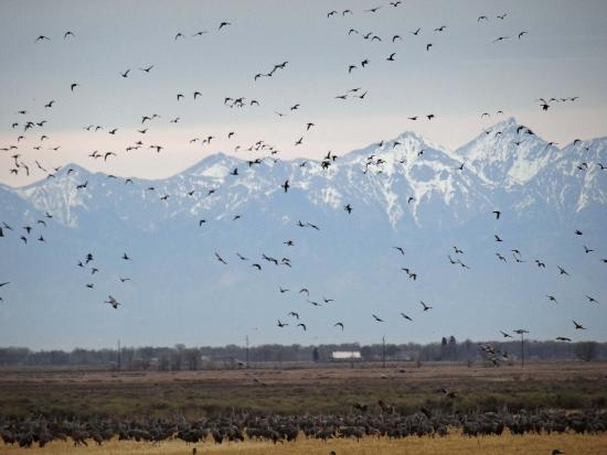 Cranes on the ground and in the air, Monte Vista National Wildlife Refuge, CO