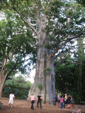 Baobab tree picture of foster botanical gardens honolulu tripadvisor for Foster botanical garden honolulu