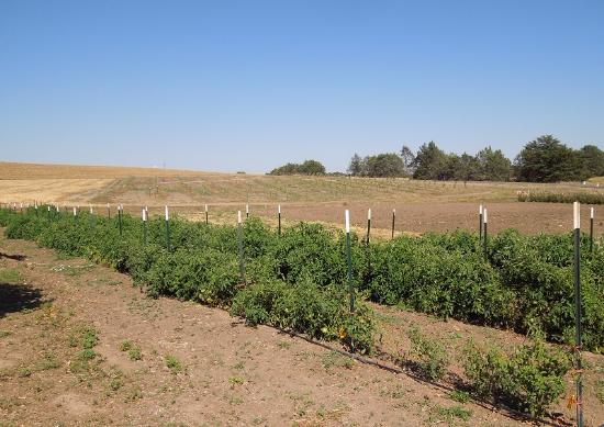 Templeton, Калифорния: This is the field where they grow the heirloom tomatoes. Sometimes they have U-pick days.