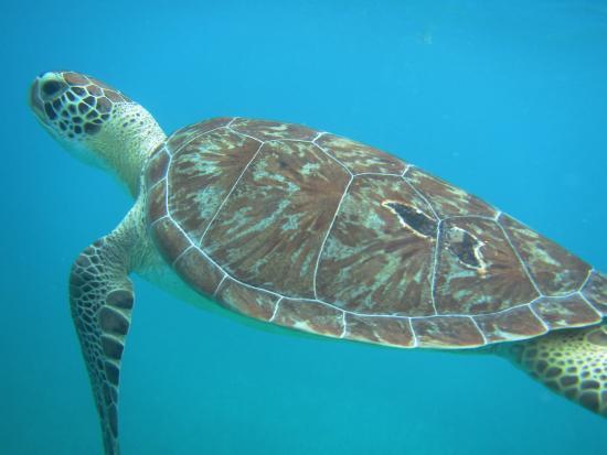 Oyster Pond, St-Martin/St Maarten: Gorgeous turtles!