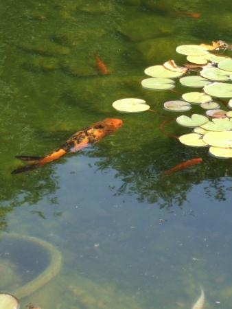 Koi pond picture of sunken gardens lincoln tripadvisor for Fish pond preparation