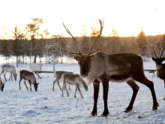 Nellim, Finlândia: #reindeer