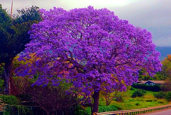 Red Jacaranda Tree Growing Zones Car Pictures - Car Canyon