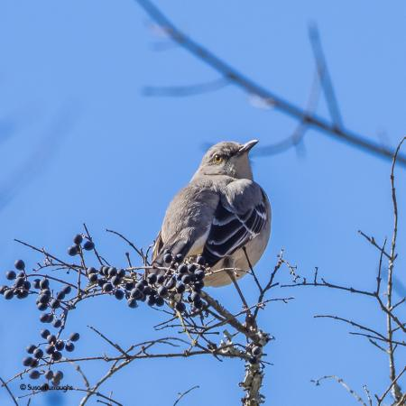 Suwanee, GA: Northern Mockingbird soaking up the sun!