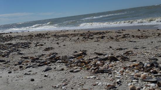 Boca Grande, FL: SO many shells