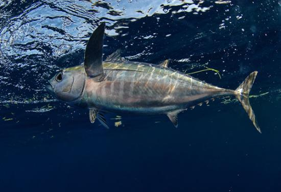 Yellowfin tuna underwater picture of june bug for Tuna fishing charters nj