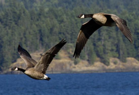 Painter's Lodge: There's always Canada geese flying along the waterfront. Best shots from hotel jetty