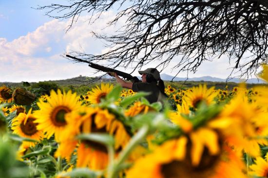 SUNFLOWER Dove Hunting