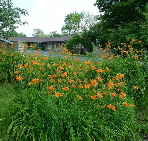 Tiger lilies at the Golden Inn