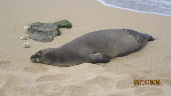 Paia, HI: sea lion