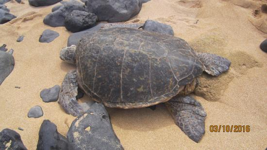 Paia, HI: close up turtle