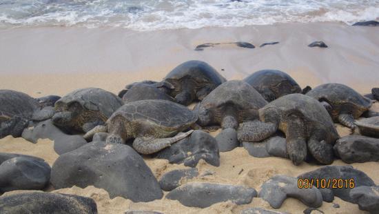 Paia, HI: and more turtles