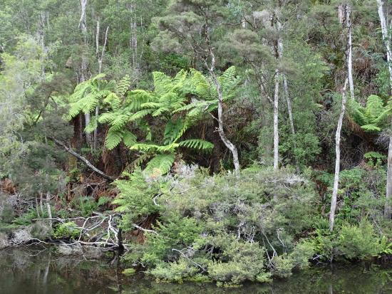 Arthur River, Australia: Beautiful tree ferns
