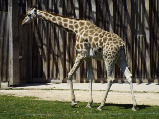 Parc de la Tete d'Or: Giraffes are one of the many animals in the zoo section (free to enter)