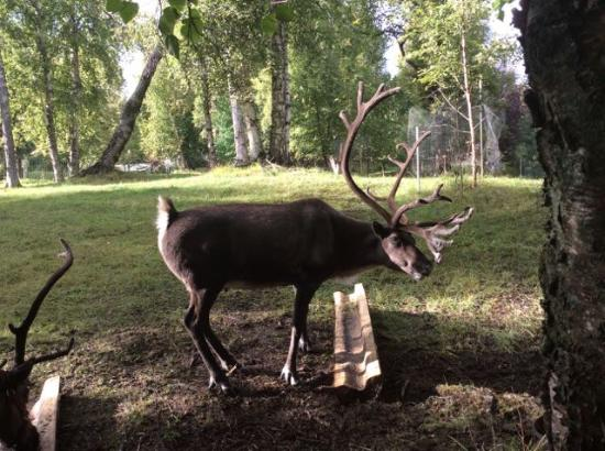 Agate Inn, Inc.: Reindeer live on the property