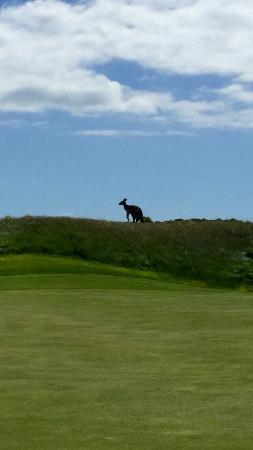 Normanville, Australien: A kangaroo on the golf course