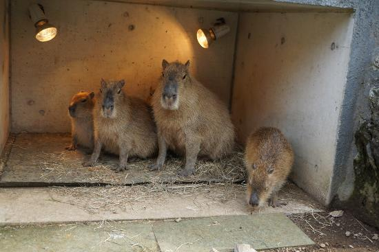 Capybara in Onsen! - Picture of Izu Shaboten Animal Park, Ito - TripAdvisor