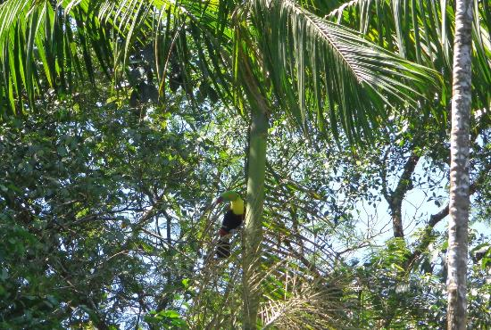 Parismina, Costa Rica: tucan sighting