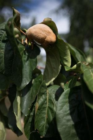 Casale a Poggiano : Fig Tree on Property
