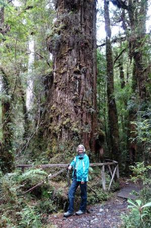 Región de Los Lagos, Chile: Centuries old forest giants