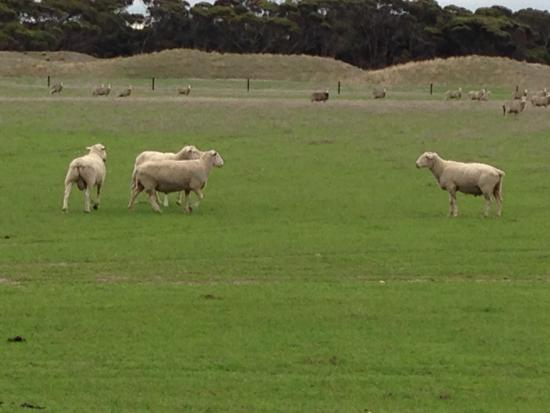 Stranraer Homestead: They have 6,000 sheep on the farm.