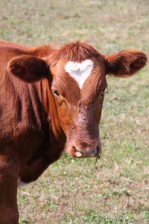 Pittsfield, MA: Heart on the calf.