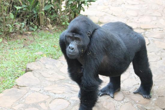 Bwindi Lodge: Our evening visitor
