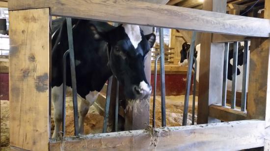 Goshen, CT: Cow