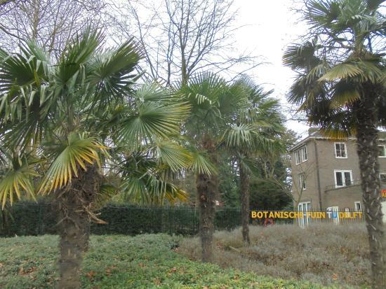 Botanische Tuin Delft : Tu botanische tuin;winterharde trachycarpus palmen uit china foto