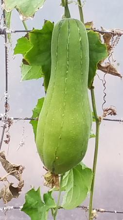 Nipomo, CA: luffa that's full grown