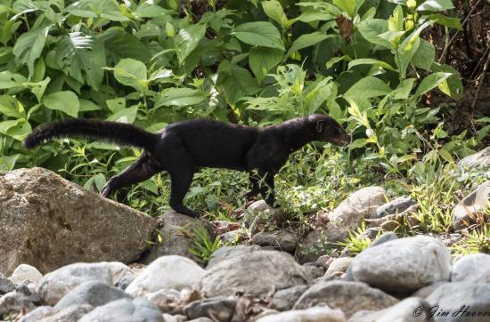 Tayra just up river from Bosque del Rio Tigre