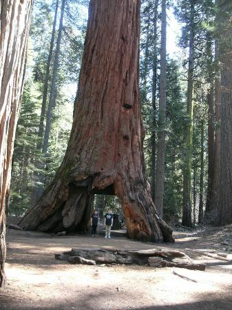 Arnold, CA: Big Trees State Park is about 4 miles from Mountain Retreat. Get the walking tour map. Amazing!