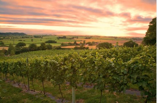 Langport, UK: Vineyard at Dusk