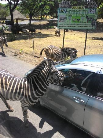 taman safari indonesia ii prigen picture of taman safari prigen rh tripadvisor com sg