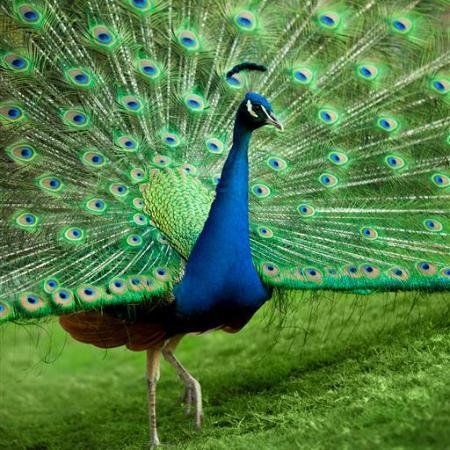 JA Palm Tree Court - Peacocks