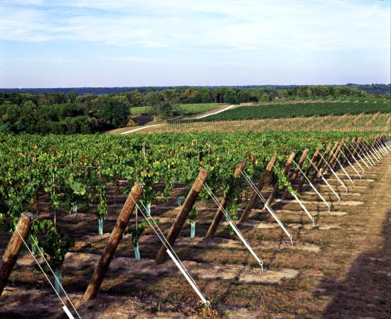 Ellettsville, IN: Oliver Winery's 54-acre Creekbend Vineyard is located in the rolling hills of Southern Indiana,