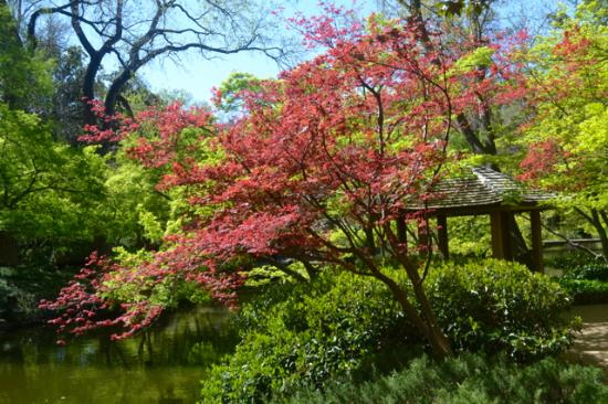 Typical Beautiful Trees In The Japanese Garden With The Koi Pond