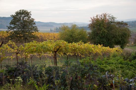 Amity, Oregón: The vineyard is organic / biodynamic