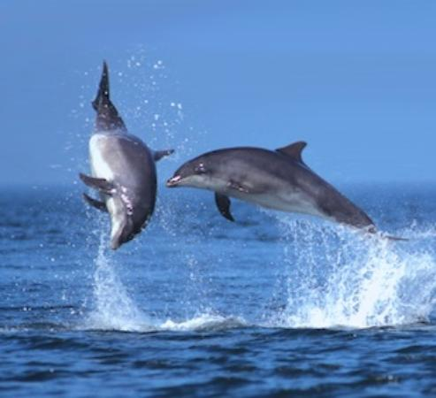 Isle of Seil, UK: Bottlenose dolphins