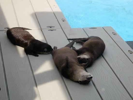 sea otters relaxing picture of gulfarium marine adventure park rh tripadvisor com