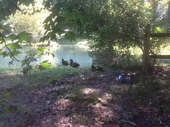 Lenoir City, TN: Mallards waiting for a handout