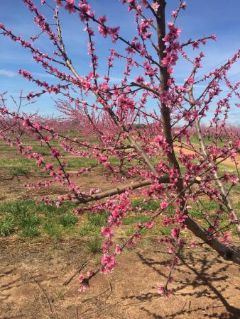 Fort Valley, GA: peach blossoms