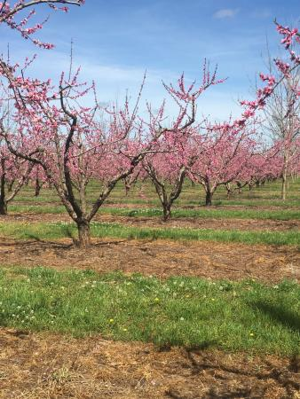 Fort Valley, GA: peach orchards