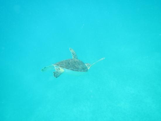 Oyster Pond, St. Maarten: sea turtles!