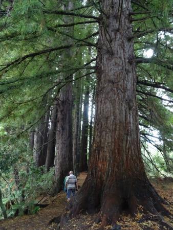 Wikitoria Maori Healing : Red Wood in Humarane Springs